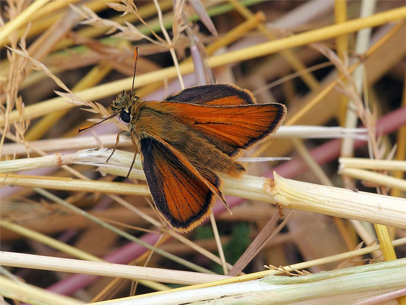 Small-Skipper-09842957