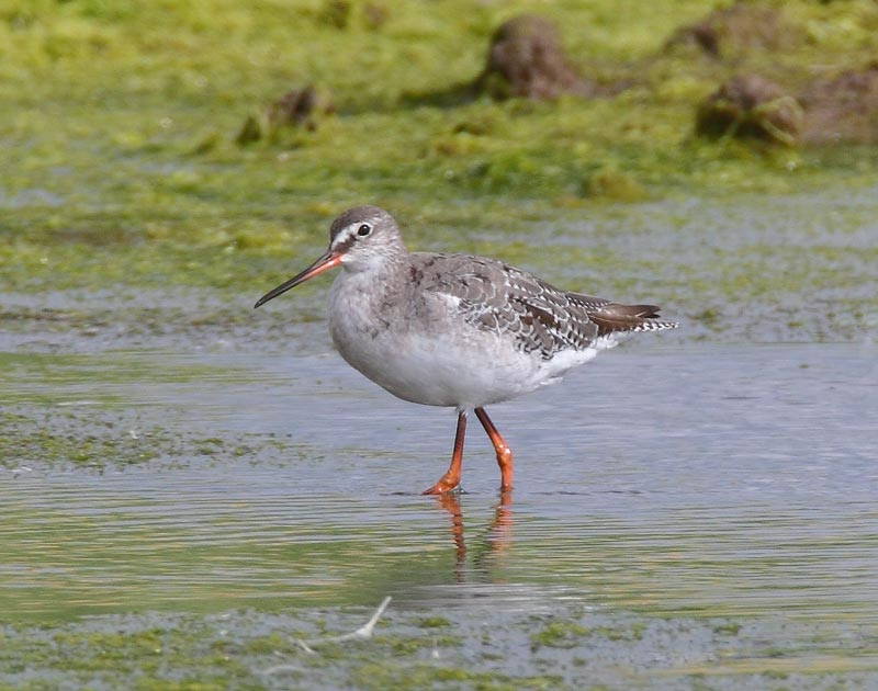 Spotted-Redshank-11823021
