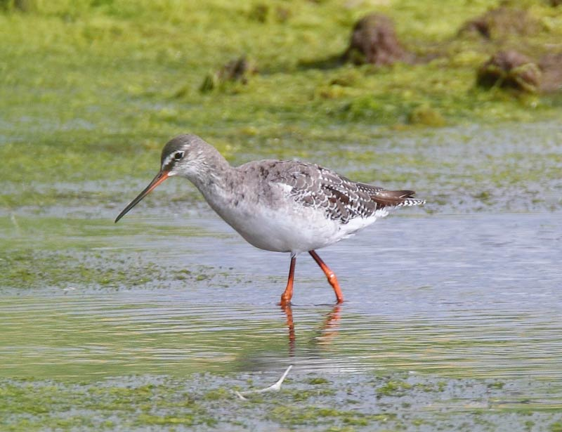 Spotted-Redshank-11833022