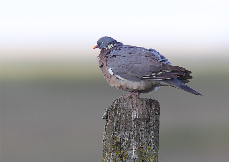Wood-Pigeon-13413034