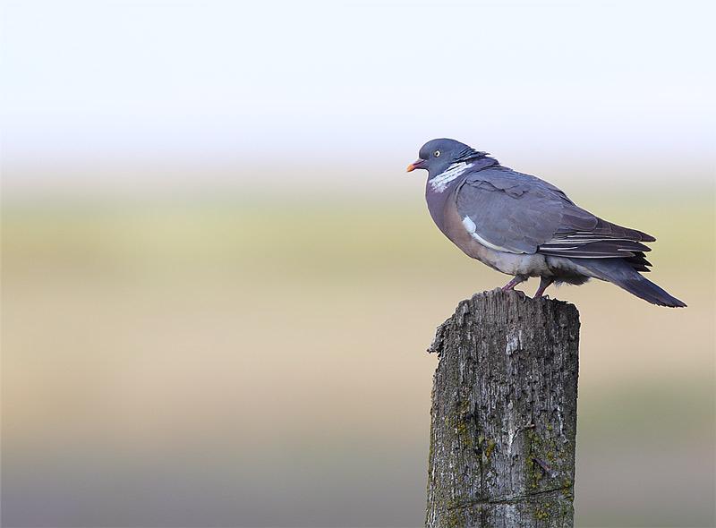 Wood-Pigeon-13453019