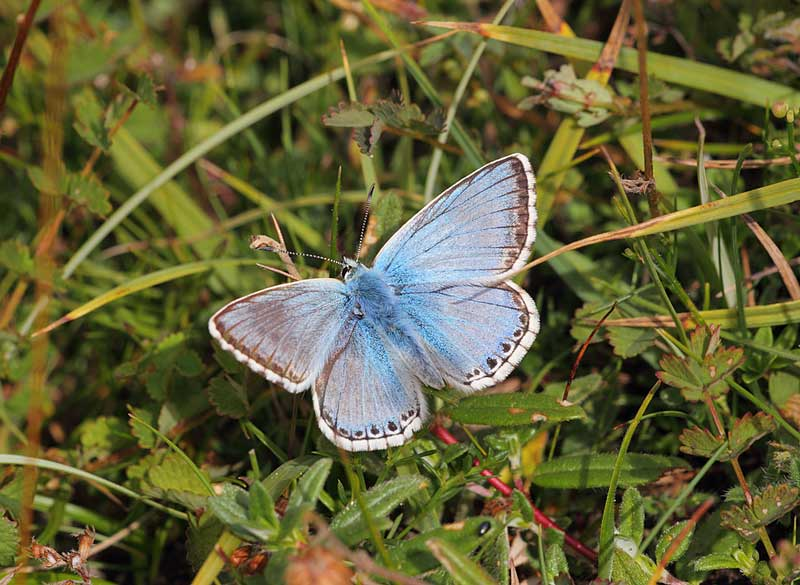 Chalkhill-Blue-male-20083092