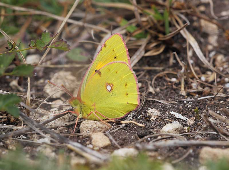Clouded-Yellow-21093070