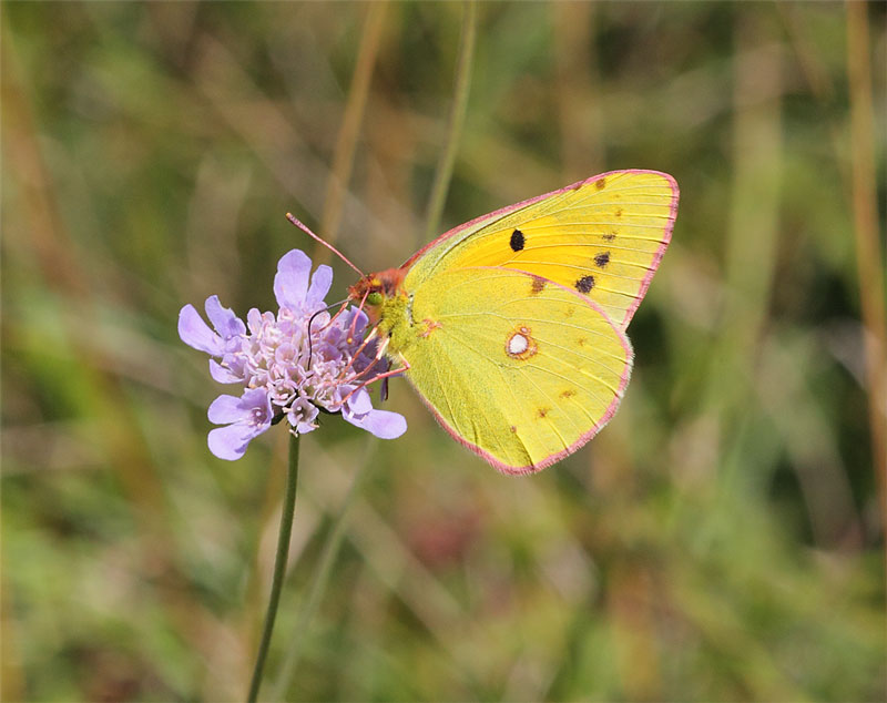 Clouded-Yellow-21643072