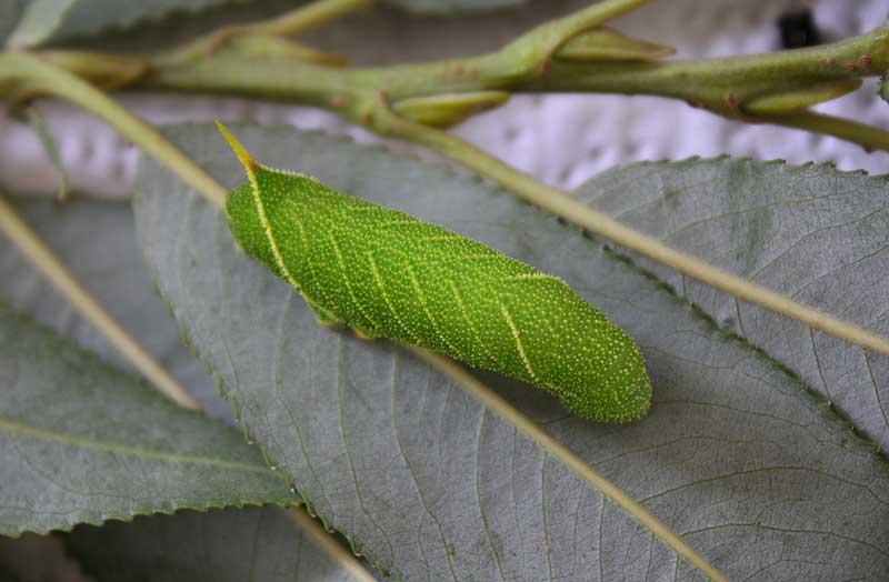 Poplar-Hawkmoth-Caterpillar3111