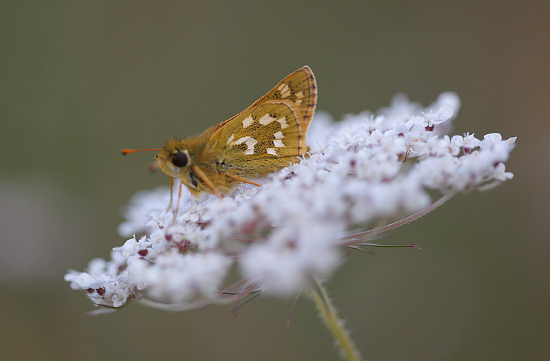 Silver-spotted-Skipper-19223068