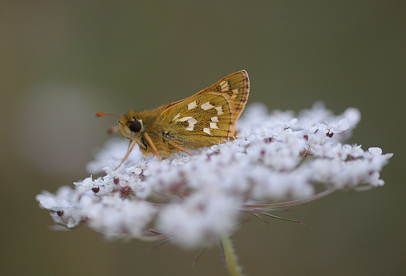Silver-spotted-Skipper-19293067