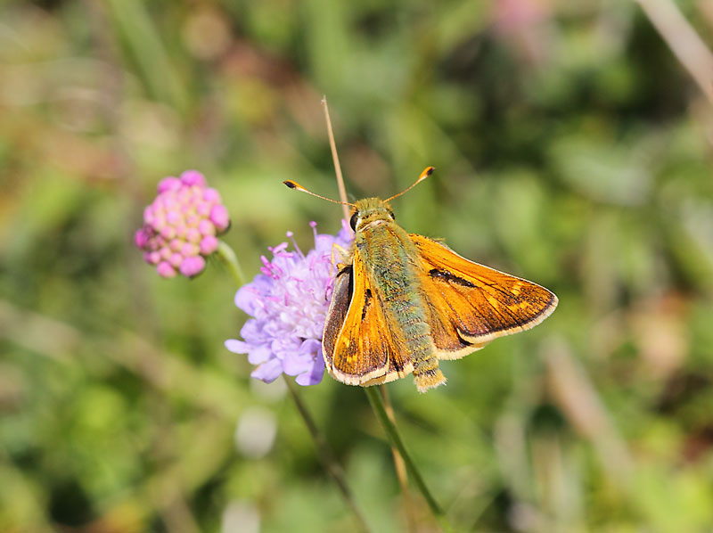Silver-spotted-Skipper-22333077