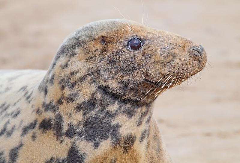 Grey-Seal-71813532