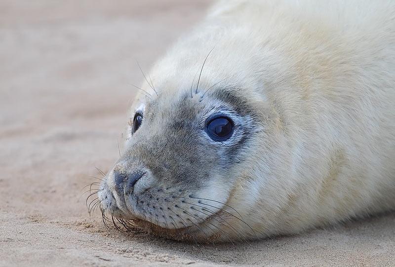 Grey-Seal-72053536