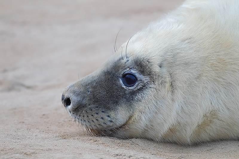 Grey-Seal-72073537