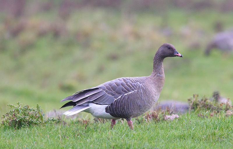 PINK-FOOTED-GOOSE-73973553