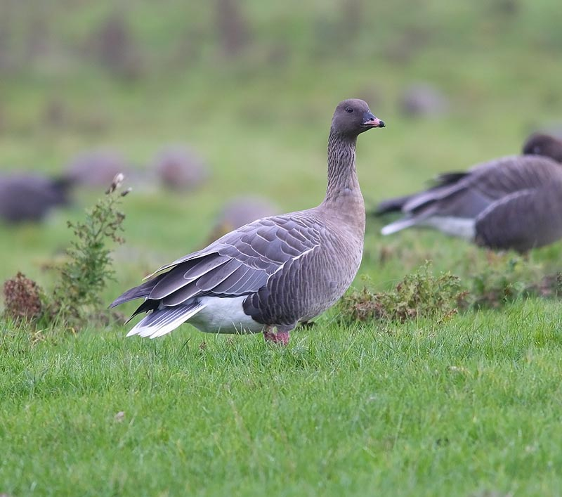 PINK-FOOTED-GOOSE-74013554