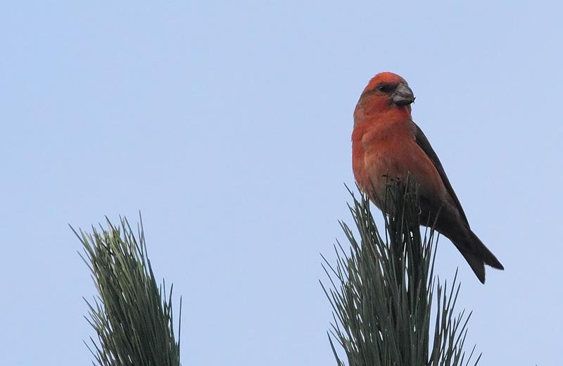 Parrot-Crossbill-73343546