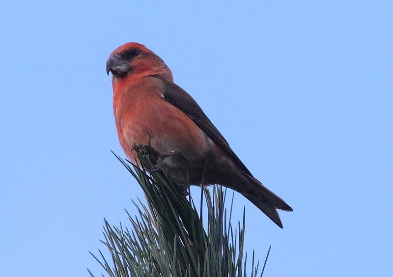 Parrot-Crossbill-73453547