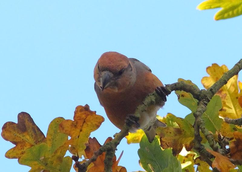 Parrot-Crossbill-73693549