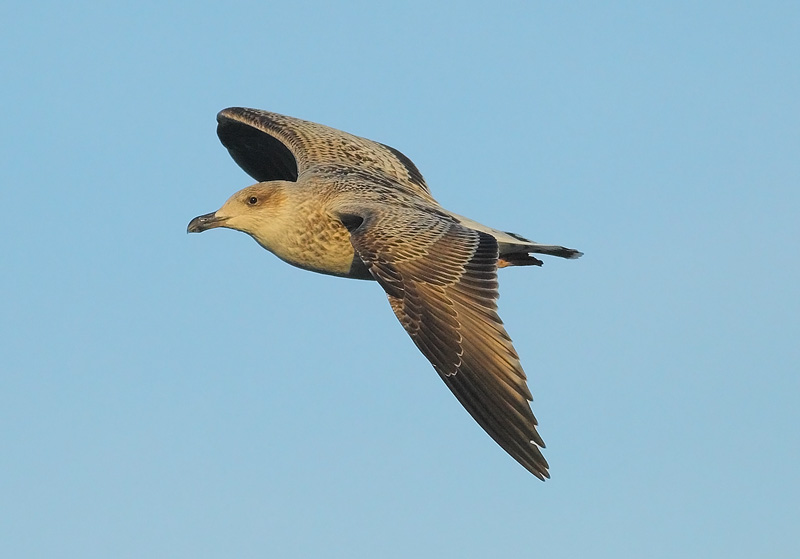 1st-Year-Herring-Gull3576