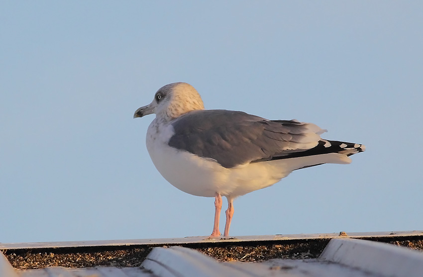 Herring-Gull-77433589