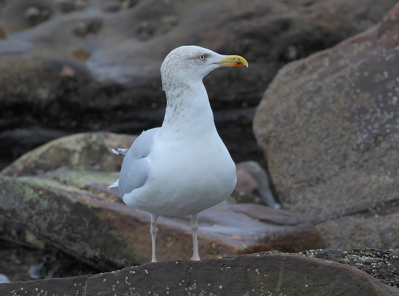 Herring-Gull-80203623