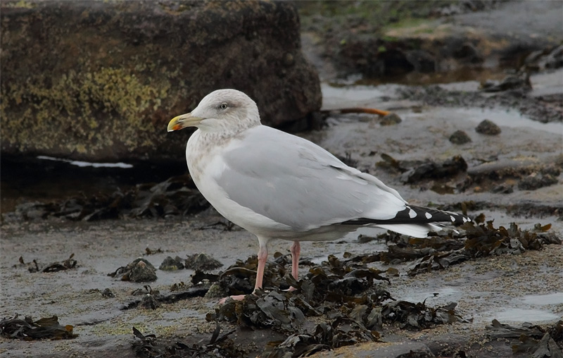 Herring-Gull-80633627