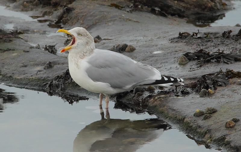 Herring-Gull-82033645