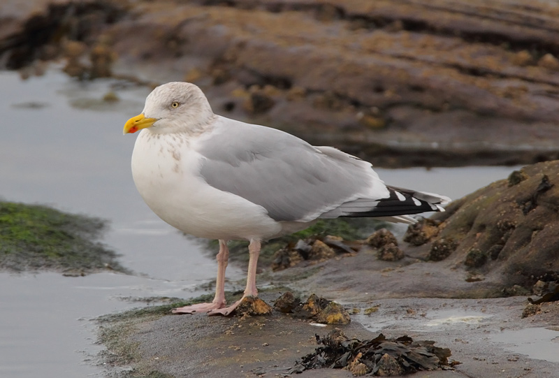 Herring-Gull-83463655