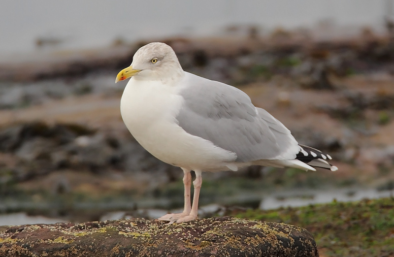 Herring-Gull-83583656