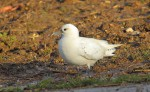 In Pursuit of an Arctic Ivory Gull - Part Two