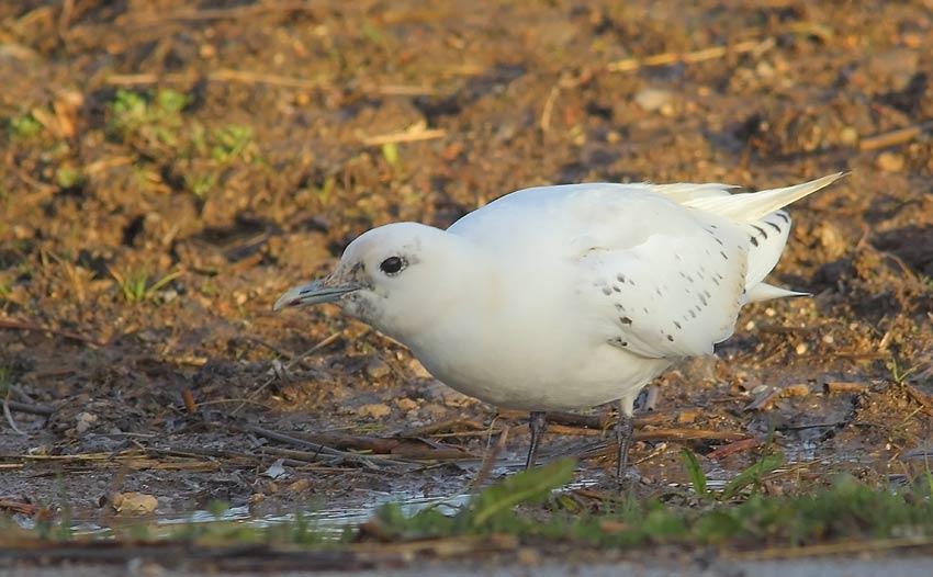 Ivory-Gull-88973681