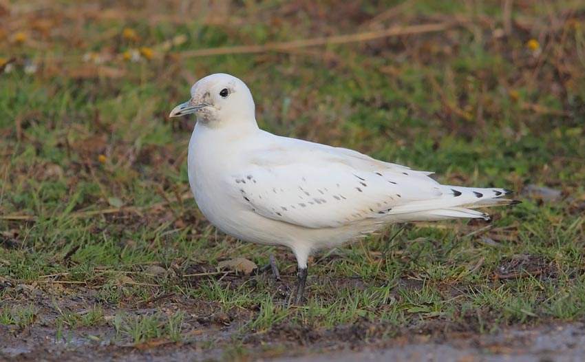 Ivory-Gull-90693685