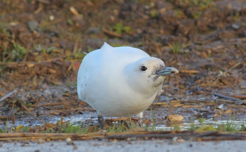 Ivory-Gull-91573687