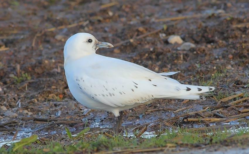 Ivory-Gull-91573688