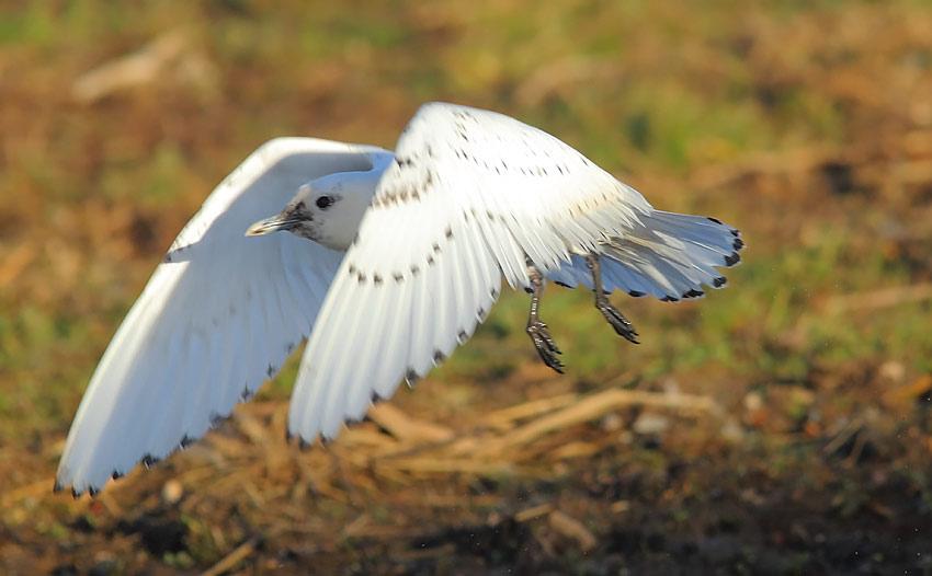 Ivory-Gull-92723694