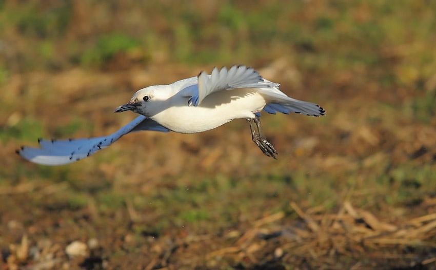 Ivory-Gull-92733695