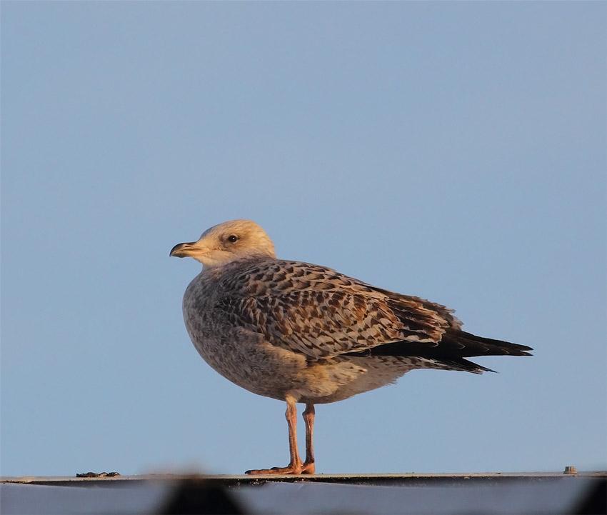 Juv-Herring-Gull-77603587