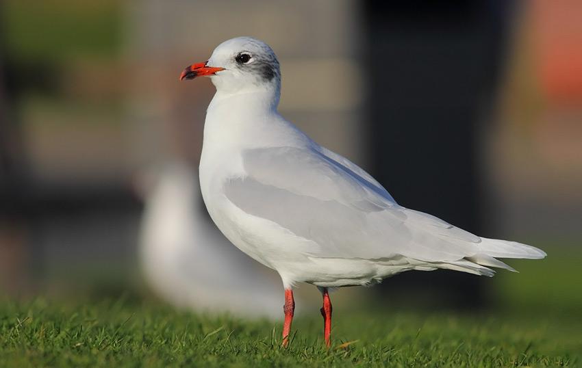 Med-Gull-92313719
