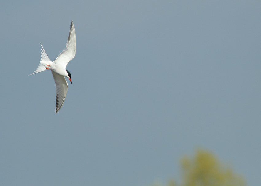Common-Tern-52764109