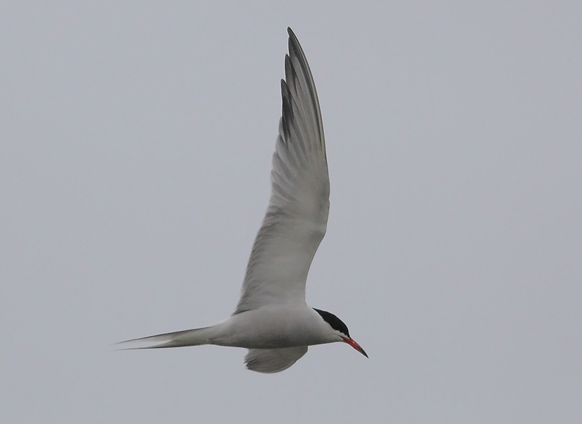 Common-tern-52164107