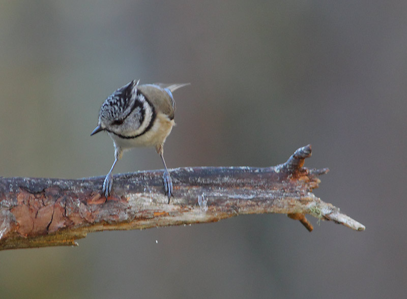 Crested-Tit-51814084