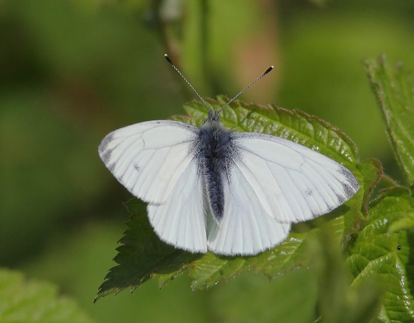 Green-veined-White-54054111