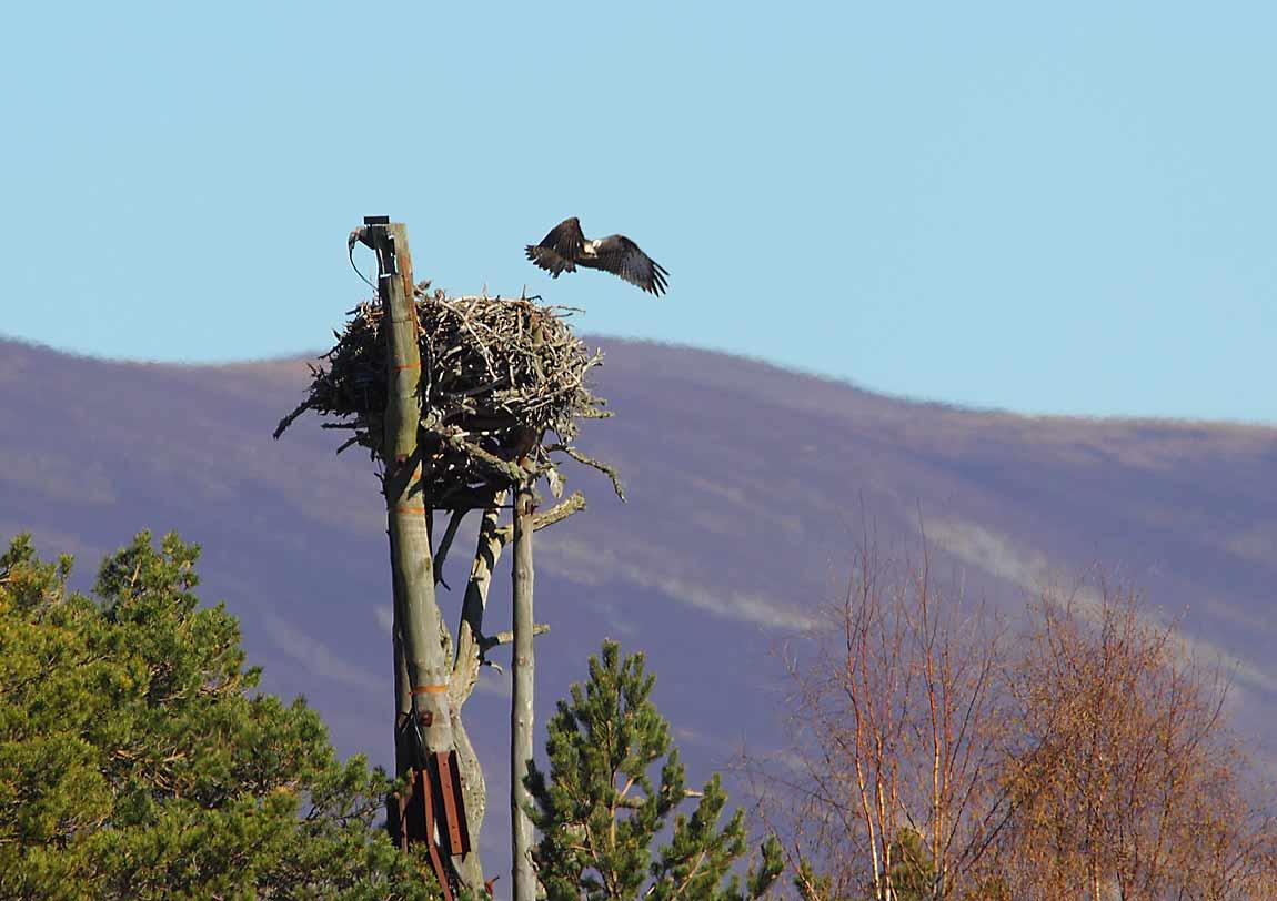 Osprey-Odin-leaves-the-nest-4854087