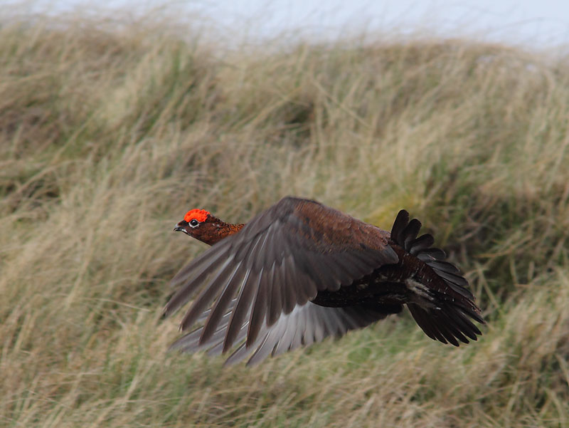 Red-Grouse-48354073