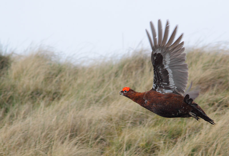 Red-Grouse-48364072