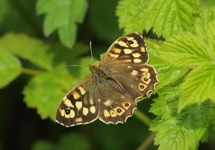 Speckled-Wood-54124113