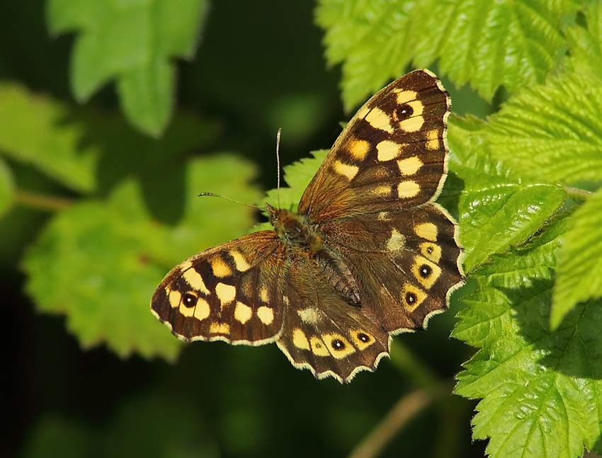 Speckled-Wood-54184112