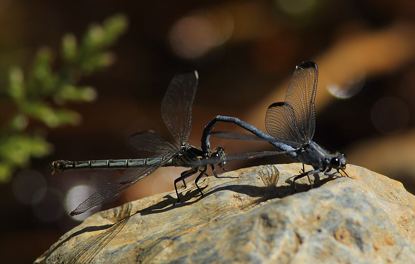 Dragonfly-species-73884200