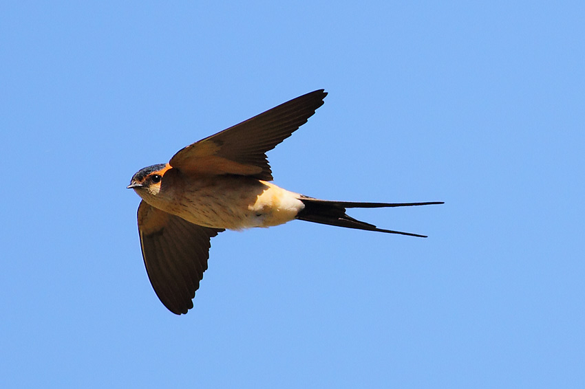 Red-rumped-Swallow-70764219