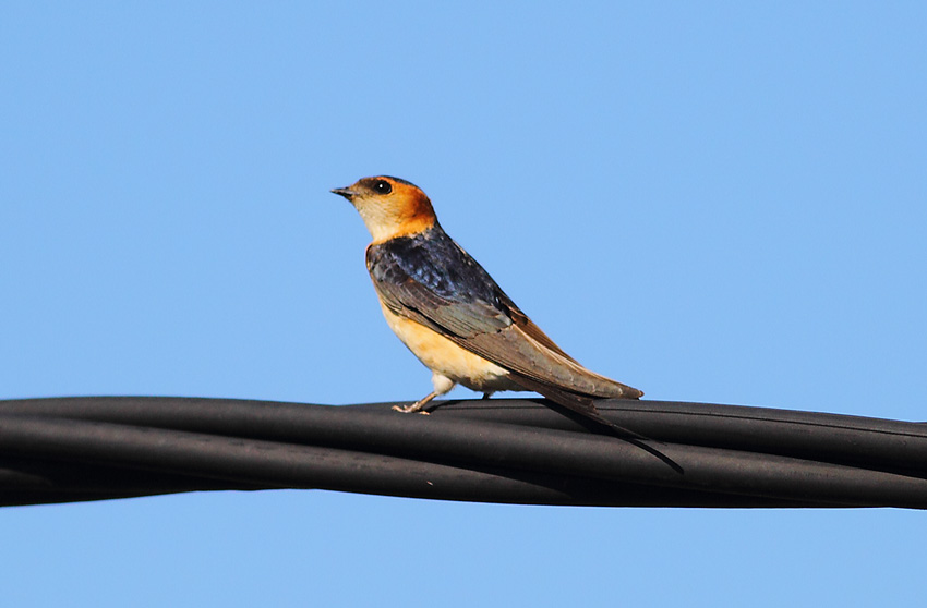 Red-rumped-Swallow-71154217