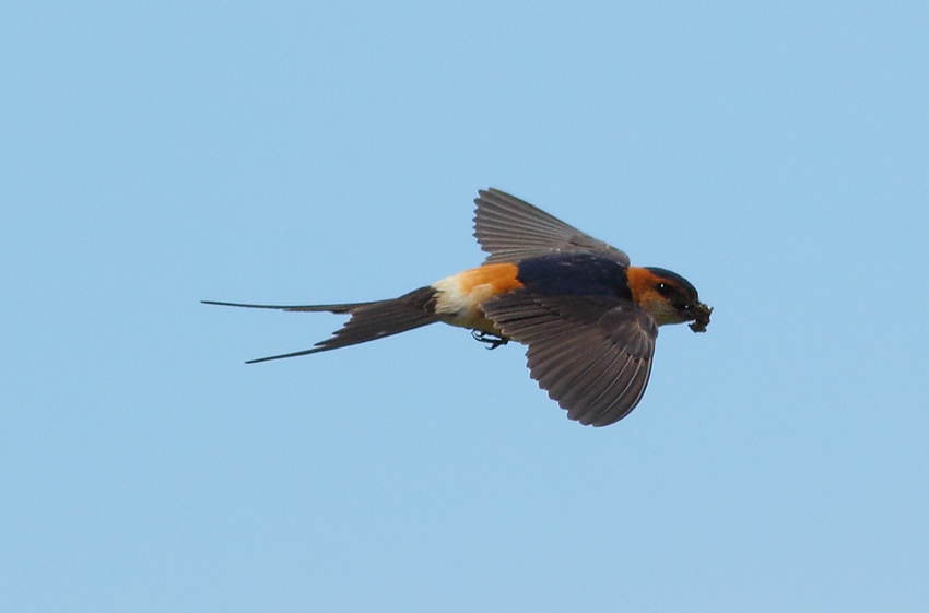 Red-rumped-Swallow-73054209