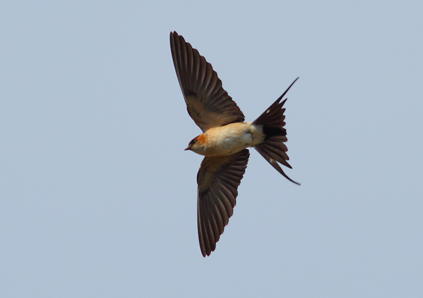 Red-rumped-Swallow-73164208